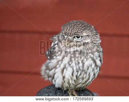 A little owl also referred to as athene noctua