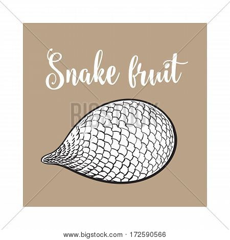 Whole unpeeled, uncut tropical salak, snake fruit in horizontal position, sketch style vector illustration isolated on brown background. Realistic hand drawing of whole snake fruit, salak