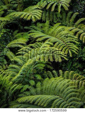 Lush bamboo grows in the Hawaiian Islands.