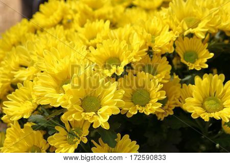 Yellow chrysanthemums many flowers look beautiful and natural.
