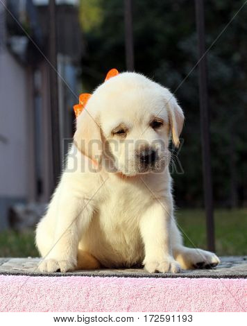 Cute Little Labrador Puppy On A Pink Background