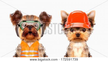 Concept of repairman or construction worker with safety hat. Funny dogs wearing as craftsman. Handyman on the white background.