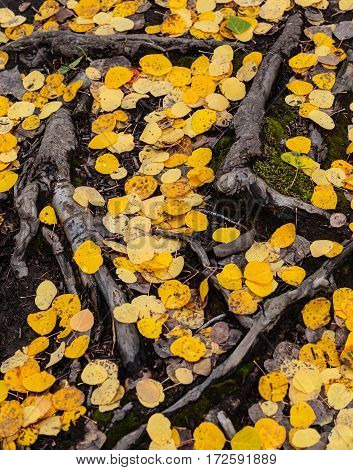Old tree roots and aspen leaves cover the ground.
