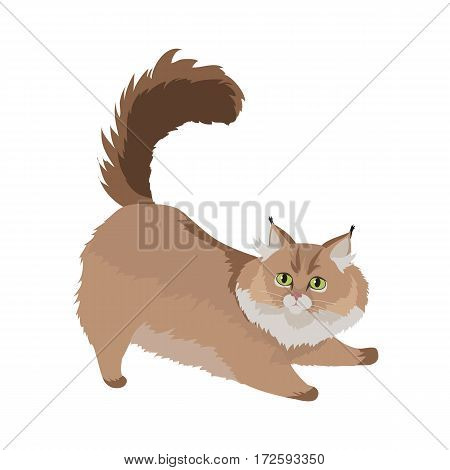 Maine coon cat breed. Cute fluffy cat stretching flat vector illustration isolated on white background. Purebred pet. Domestic friend and companion animal. For pet shop ad, animalistic hobby concept