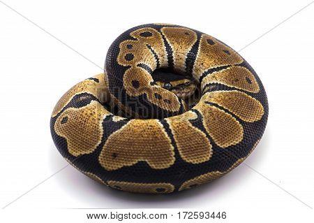 boa python snake isolated on white background