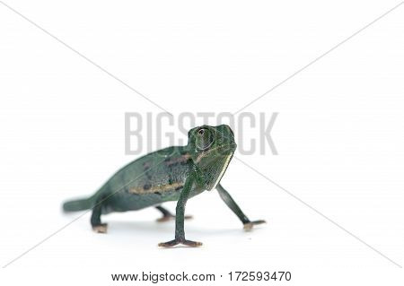 macro lizard chameleon isolated on white background