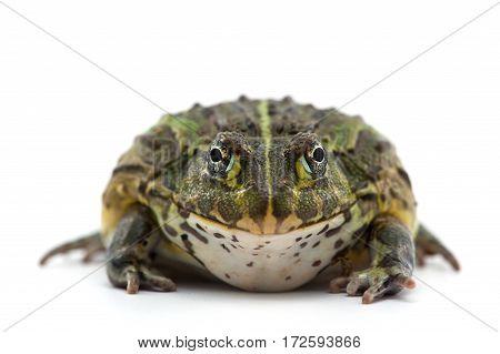 macro amphibian  frog isolated on white background