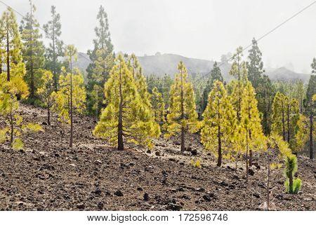 pine grove in Teide National Park, Tenerife, Canary Islands, Spain