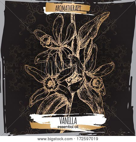 Vanilla planifolia aka vanilla vector hand drawn sketch. Aromatherapy collection. Great for traditional medicine, perfume design, cooking or gardening.
