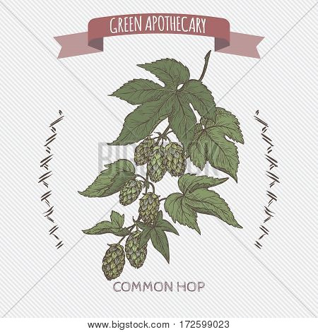 Humulus lupulus aka common hop color sketch. Green apothecary series. Great for traditional medicine, gardening or cooking design.