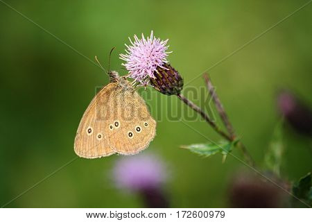 Ringlet butterfly sitting on a purple thistle