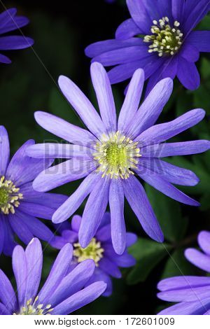 Bunch of purple anemones with yellow center