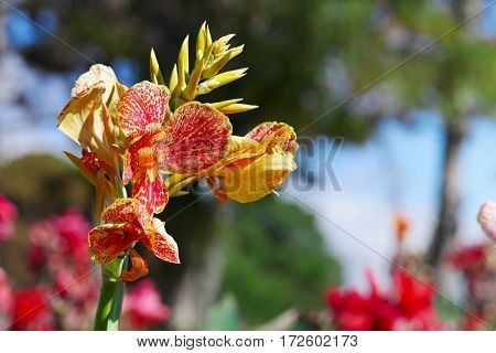 Large flower canna on background flowerbed.