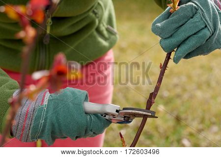 woman cuts the rose trees in spring close up