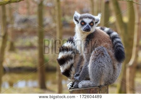 Ring-tailed lemur, Lemur catta, enjoying the sun
