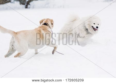 Game Samoyed dogs and Labrador in the winter on the site for training dogs in the snowdrifts