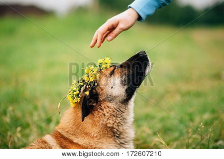 the dog with wreath from flowers on head spring outdoor on green grass