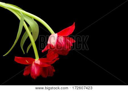 Flaming red tulips fully opened and isolated