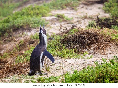 African Penguin at Boulder Beach in Simon's Town, South Africa