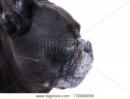 Black french bulldog, dog profile portrait, isolated white background