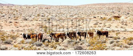 Cattle herd in the Lake Mead National Recreation Area Arizona