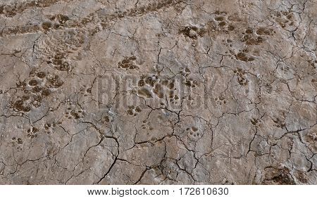 Dog footprint on land with mud, animals and nature. Dog footprint traces of different size