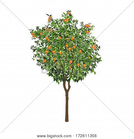 The isolated orange tree with mature fruits on a white background