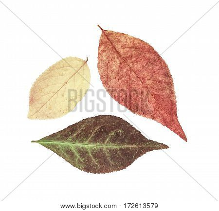 Dry bright autumn leaves isolated on white background. For use in scrapbooking floristry (oshibana) or herbarium.