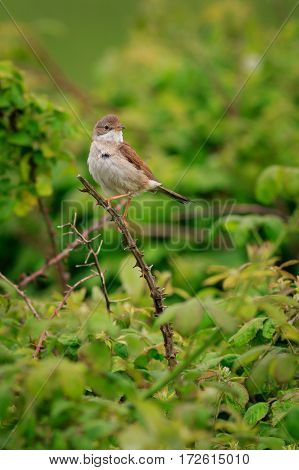 Common Whitethroat (Sylvia communis) perched on a twig