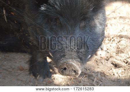 black guinea hog face sun rays direct shot