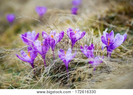 Fantastic purple primroses with yellow stamens grow on the mountain valley covered with yellow grass.
