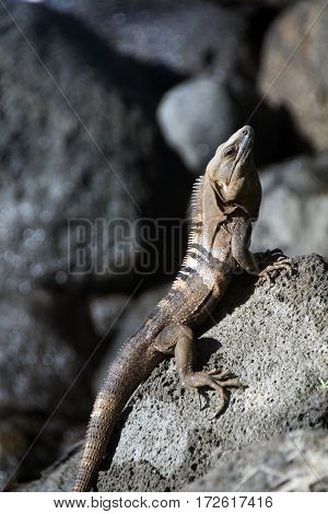 photographed on Big Corn Island Nicaragua a Ctenosaura similis commonly known as the black spiny-tailed iguana black iguana or black ctenosaur is a lizard native to Mexico and Central America
