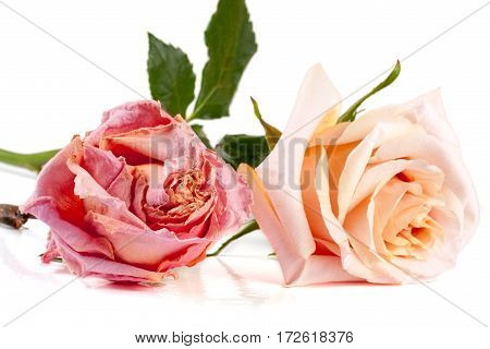 One dried and one fresh rose isolated on a white background.