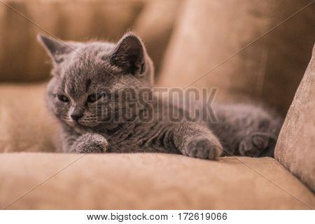 Gray British fluffy kitten lying and sleepping on sofa