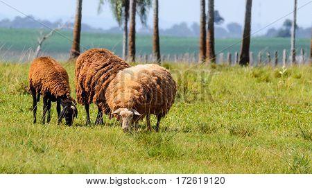 Three Sheep Feeding On Farm Pasture