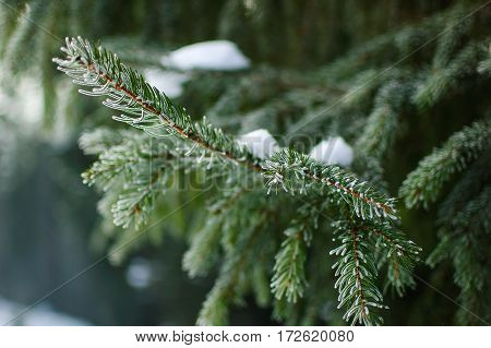 Branch of coniferous tree in snow. Each needle is covered with frost