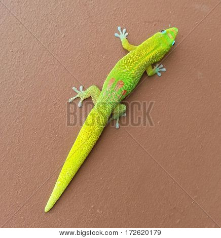 Vibrant clown gecko lizard on brown background