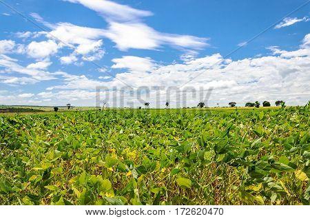 Rural Landscape Of Soybean Plantation