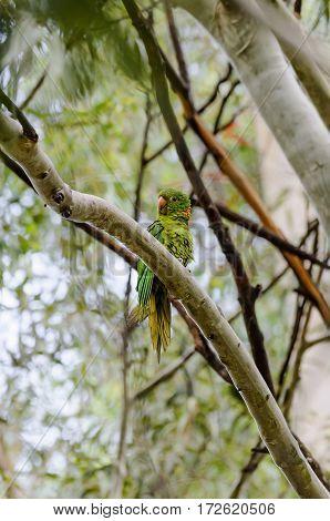 Green parrot with yellow beak on a tree branch. Bird also no as Maritaca bird on Brazil.