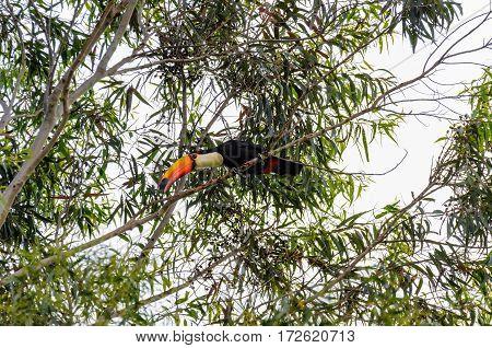 Wild Tucano Bird On A Tree Branch
