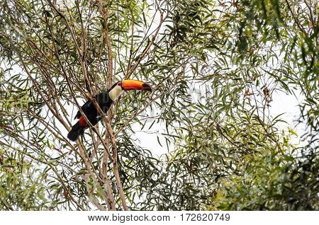 Wild Tucano Bird On A Tree Branch