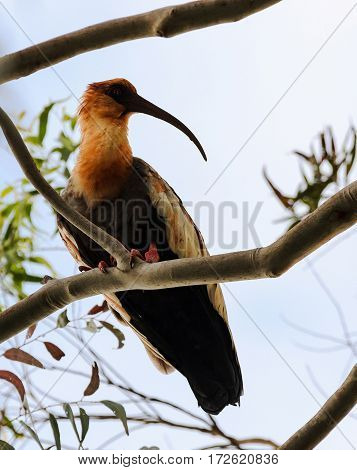 Beautiful Heron Of The Pantanal In Brazil