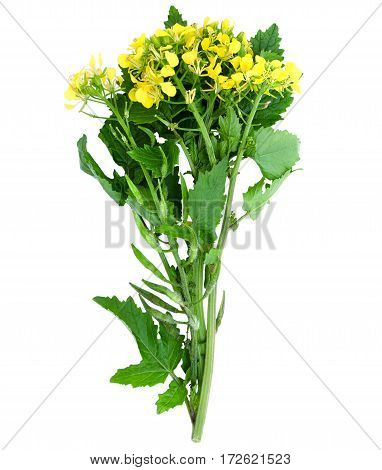 Sprig of fresh rapeseed isolated on white background. Design element for product label, catalog print, web use.