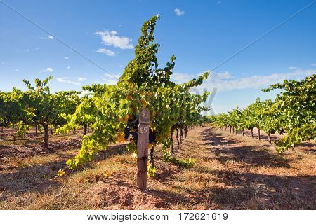Vineyards from the Barossa Valley in South Australia one of Australia's premier wine making regions
