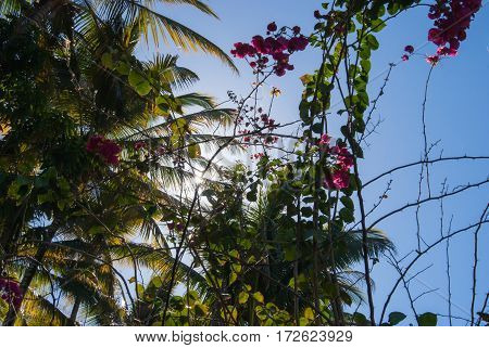 A by the sun backlit scene with bougainvilleas and palm trees