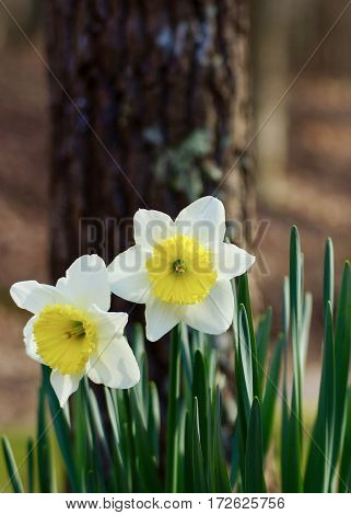 Two, duo of daffodils / jonquils in wood setting,