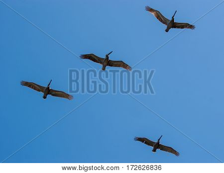 four pelicans flying in formation in the blue sky