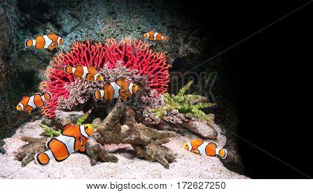 Sea corals and clown fish in marine aquarium. On black background