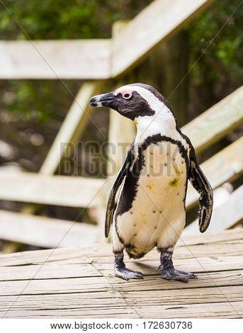 African Penguin On Boardwalk
