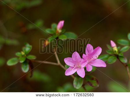 Duo of pink azalea blossoms with blurred buds in background